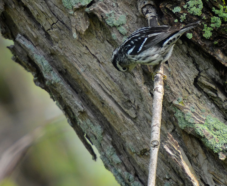 A female Black and White Warbler (Mniotilta varia) gleans insects at Magee Marsh.