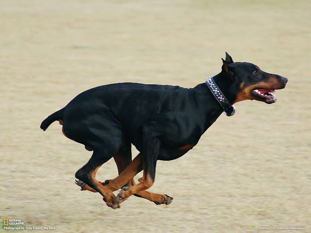 How fast a Doberman can run?