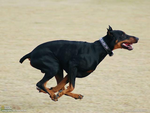 How fast a Doberman can run?