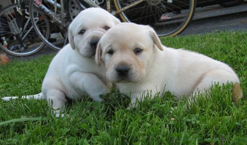 Nicki and Deuce's Puppies 2014