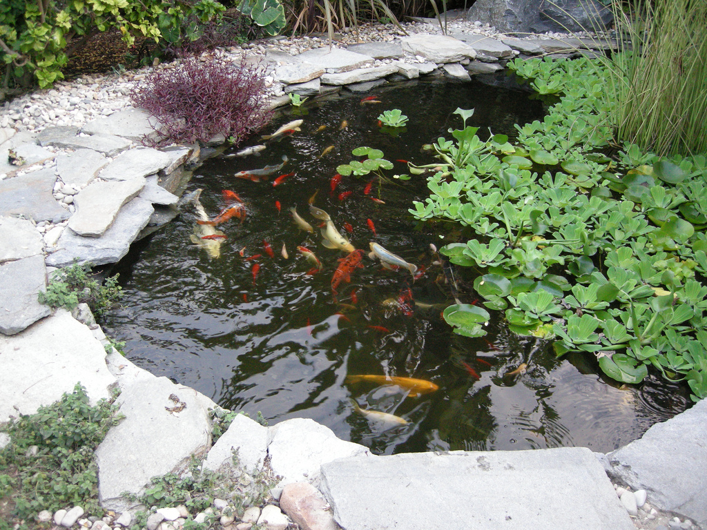 Dr dan 39 s garden tips august 2012 for Fish for small outdoor pond