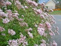 藤袴の花。