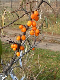 ягоды облепихи