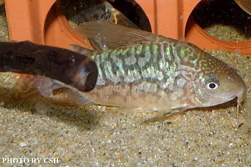 Corydoras Latus : ... message blog: ??????/????(Corydoras pantanalensis