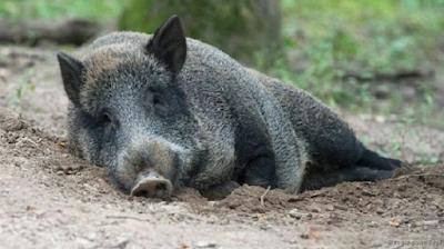 Heo rừng giữ mát cơ thể bằng cách nằm trên bùn. Ảnh: Roger Powell/NPL.