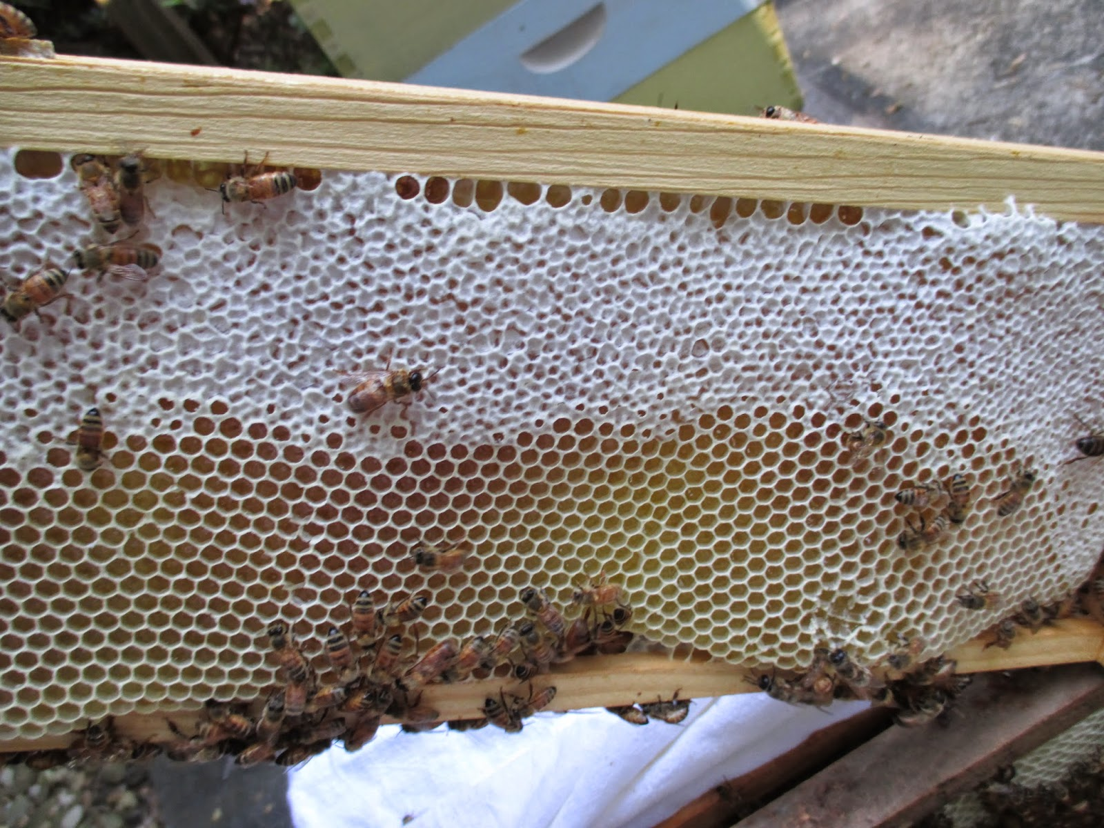 Lindas bees checkerboarding for honey production on most frames there was both capped and uncapped honey biocorpaavc