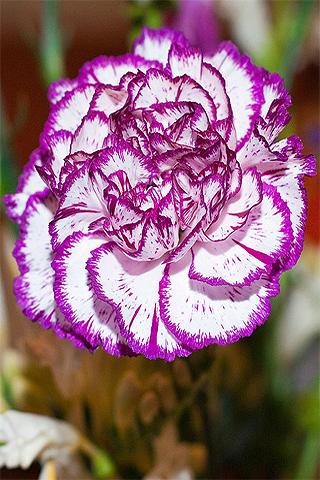 Clavel purpura - Solo Nuevas