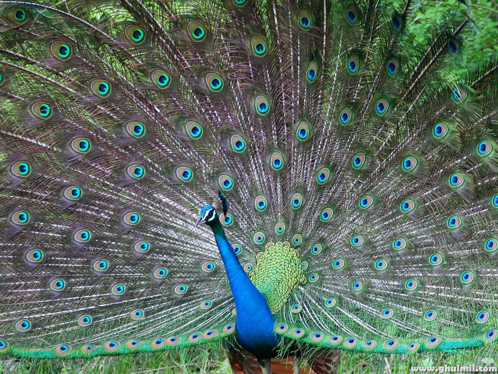 gambar burung merak gambar burung