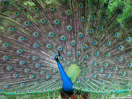 peacock photos @ Digaleri.com