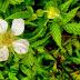 Ucen's flower