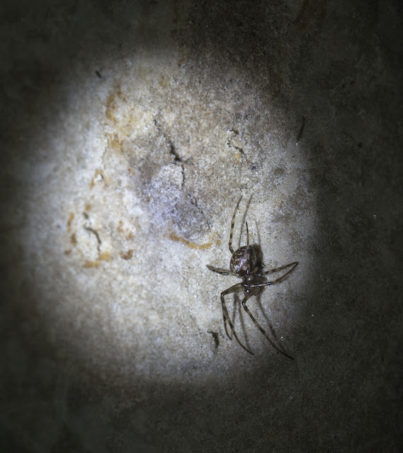 Cave Spider, perhaps Meta merianae, at Combe Bank on 24 February 2013.