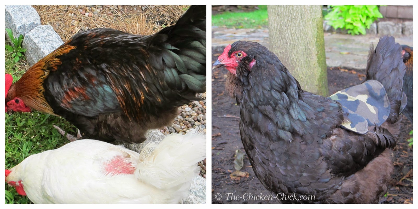 Feather loss on hen's back due to rooster treading & hen apron being modeled.