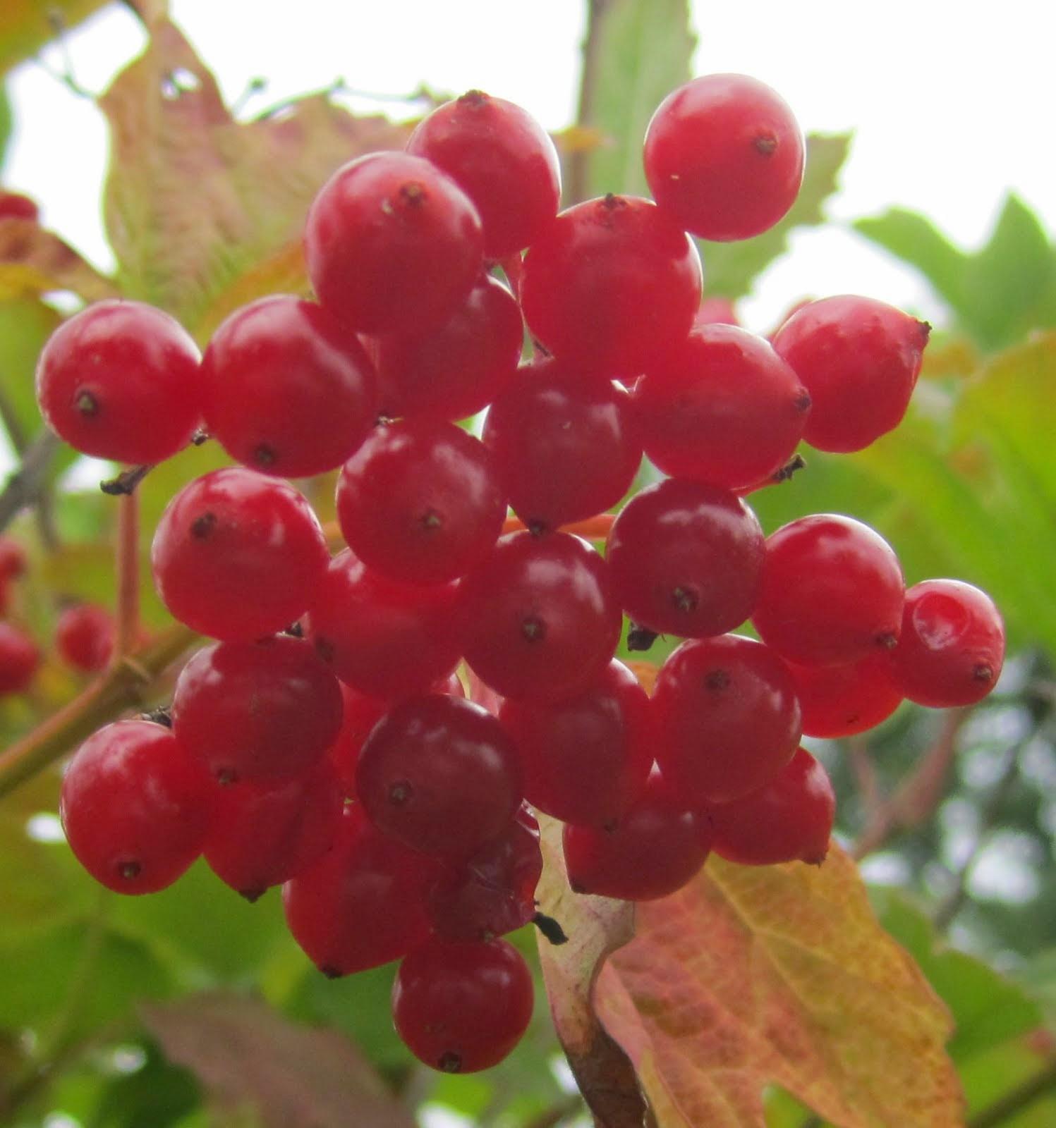 Crampbark berries