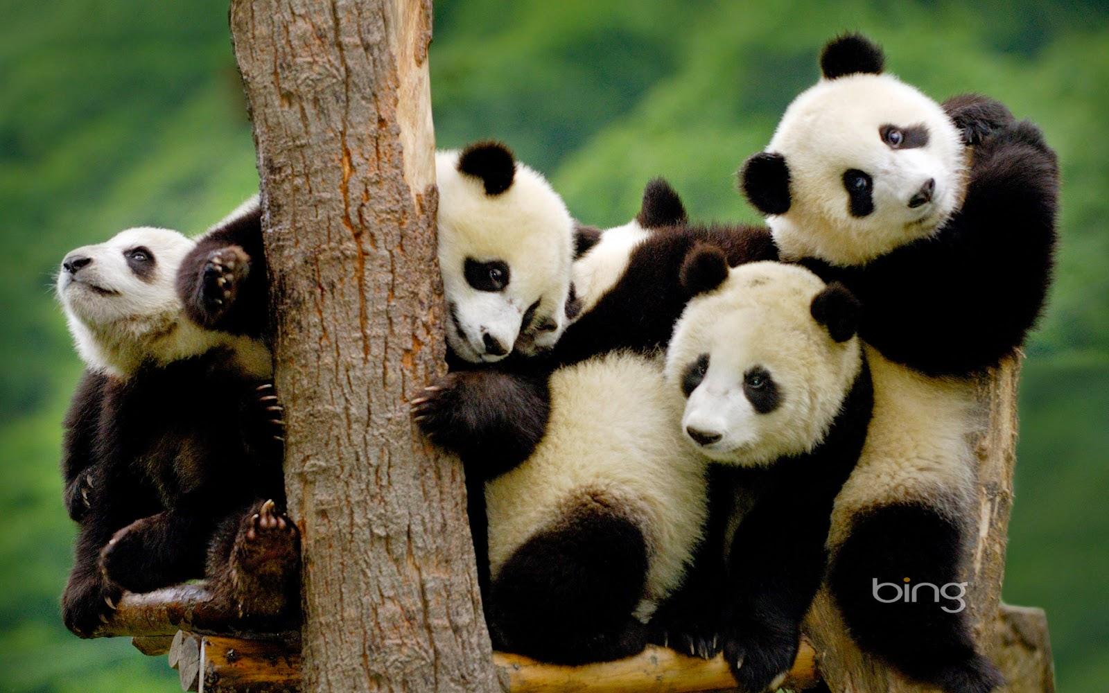 Gambar Dan Foto Lucu Panda Serta Asal Usul Panda