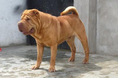 Alimentación y cuidados diarios perro Shar Pei
