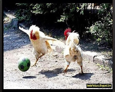 foto lucu Ayam Bermain Sepakbola
