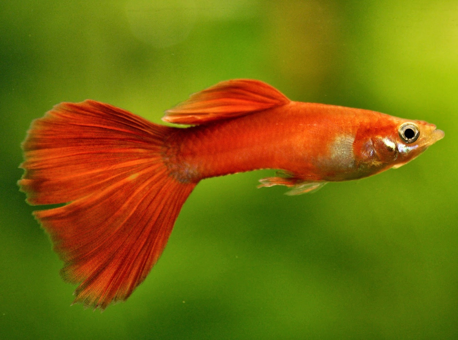 Most beautiful freshwater fish