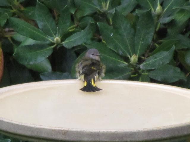 american redstart in bird bath two