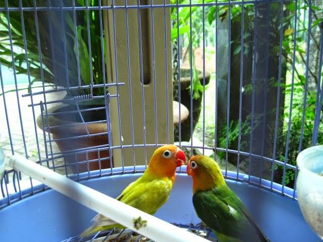 Lovebird Hijau Paskun 1 Pasang Jogja Kalasan