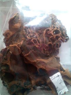 jual sarang semut asli papua