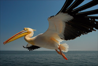 African Pelican in Flight 2007   Annual Exhibtion