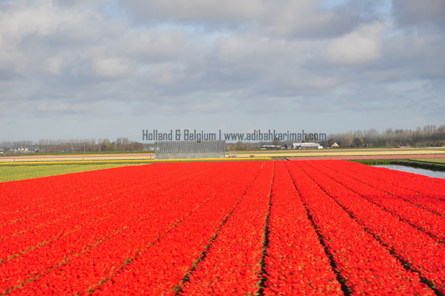 holiday to holland and belgium with premium beautiful at keukenhof with red tulips