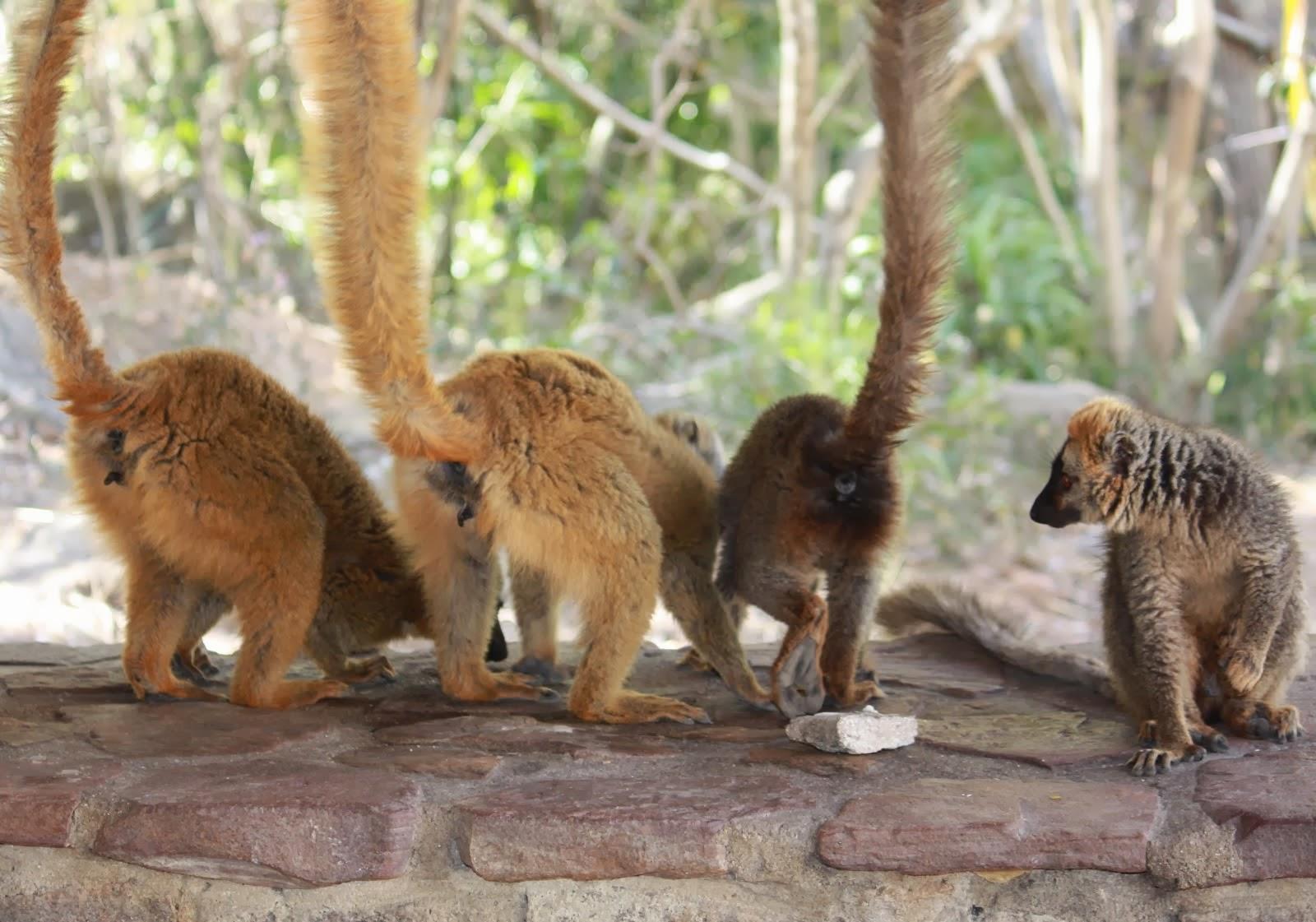 Four Lemurs
