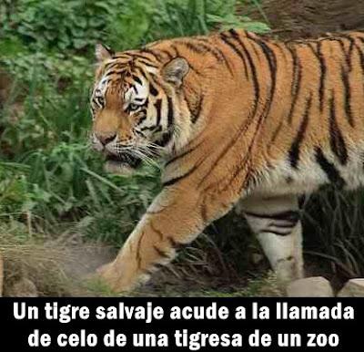 tigre-enamorado-zoo