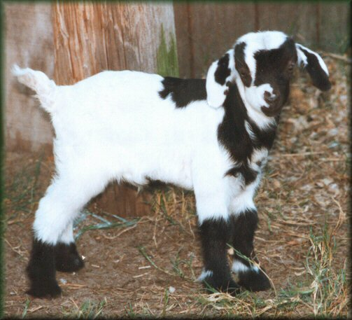 facts about goats for preschoolers goat pictures for children 138