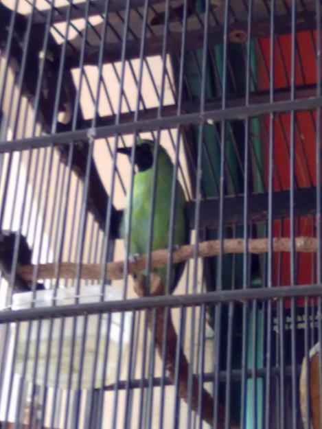 Cerita Burung Jawara