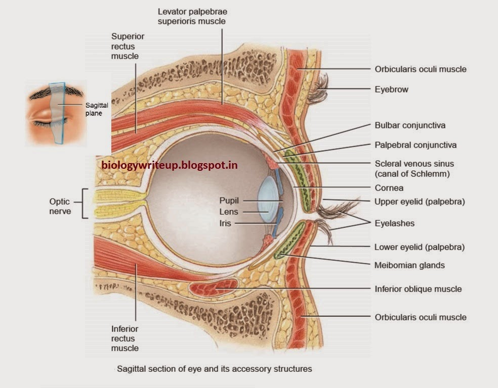 BIOLOGY WRITE-UP - BIOLOGY ARTICLES: HUMAN EYE: Basic structural ...