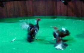 Video pelea gallos.