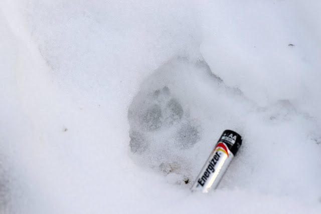 Coyote paw print