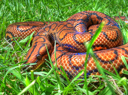 Most Beautiful Snake Brazilian Rainbow BoaBrazilian Rainbow Snake