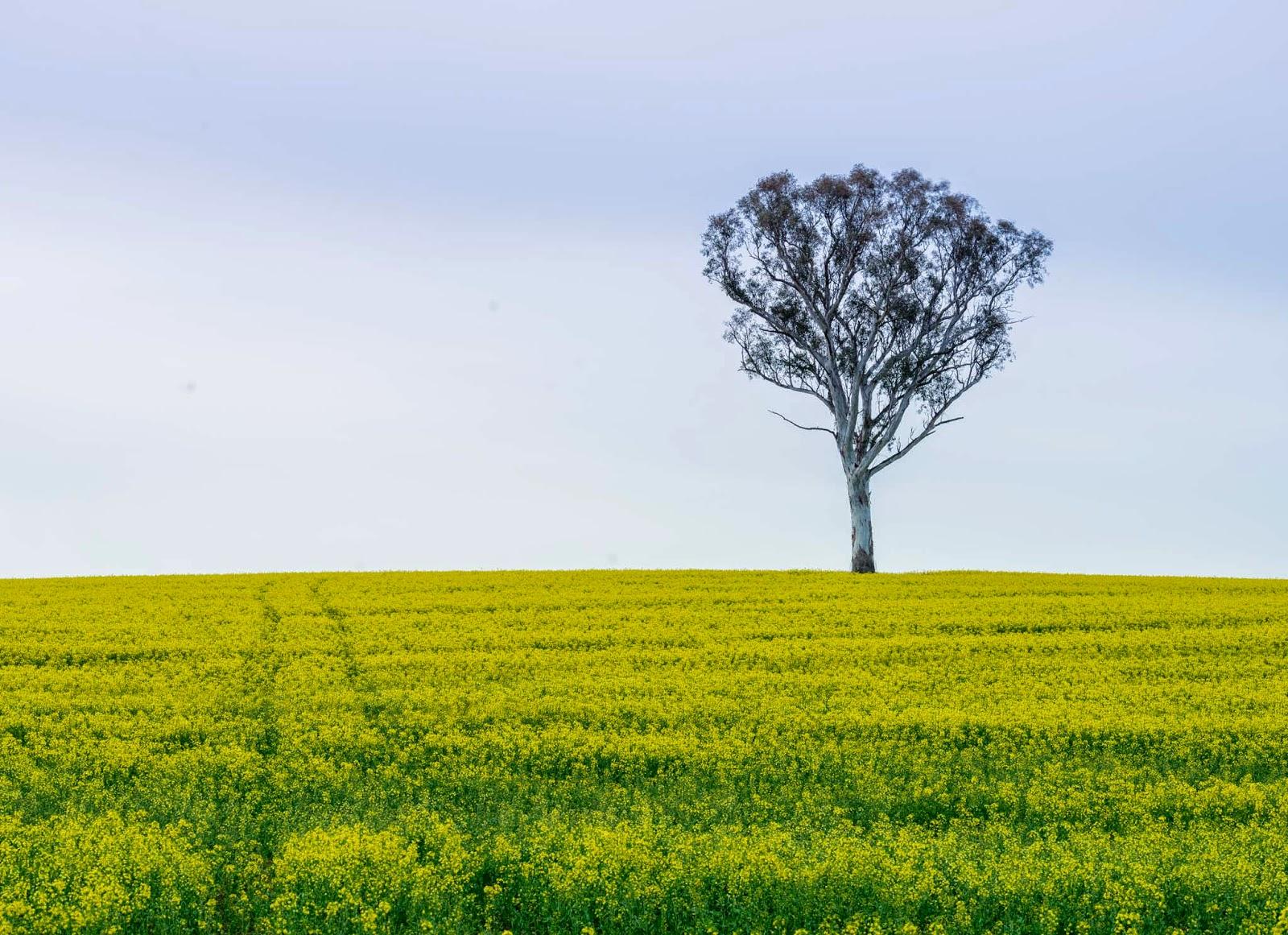 Canola Fields - Travis Longmore Photography
