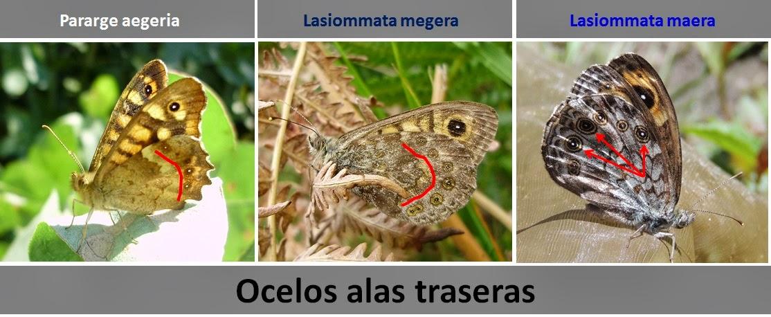 Diferencias ocelos reverso alas traseras de Pararge aegeria, Lasiommata megera y Lasiommata maera