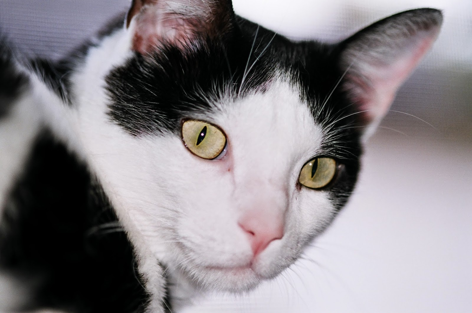 steroids for cats cost