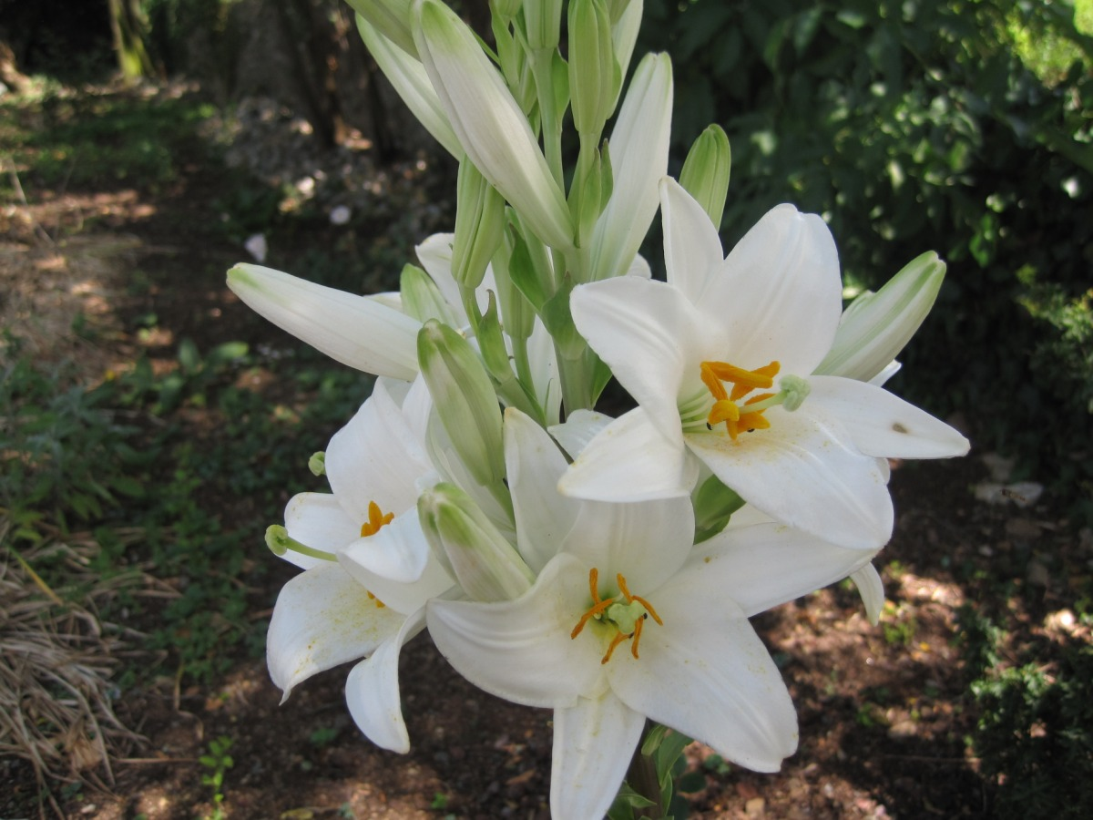 A corner of france madonna lily madonna lily izmirmasajfo Gallery