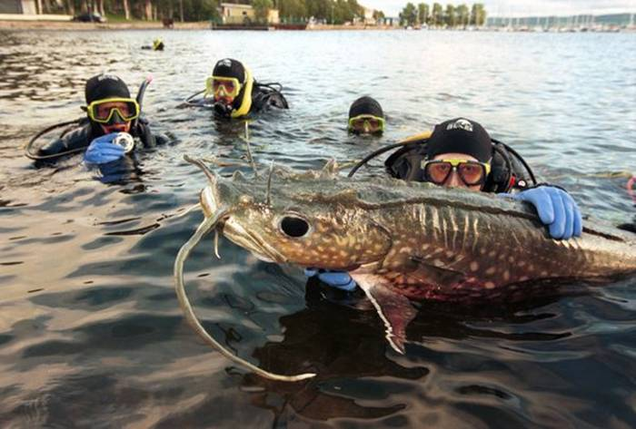 Divers work with a model European catfish in the Great Lake at Ostersund in Sweden. Large catfish live in many rivers throughout the world, where they are important scavengers.