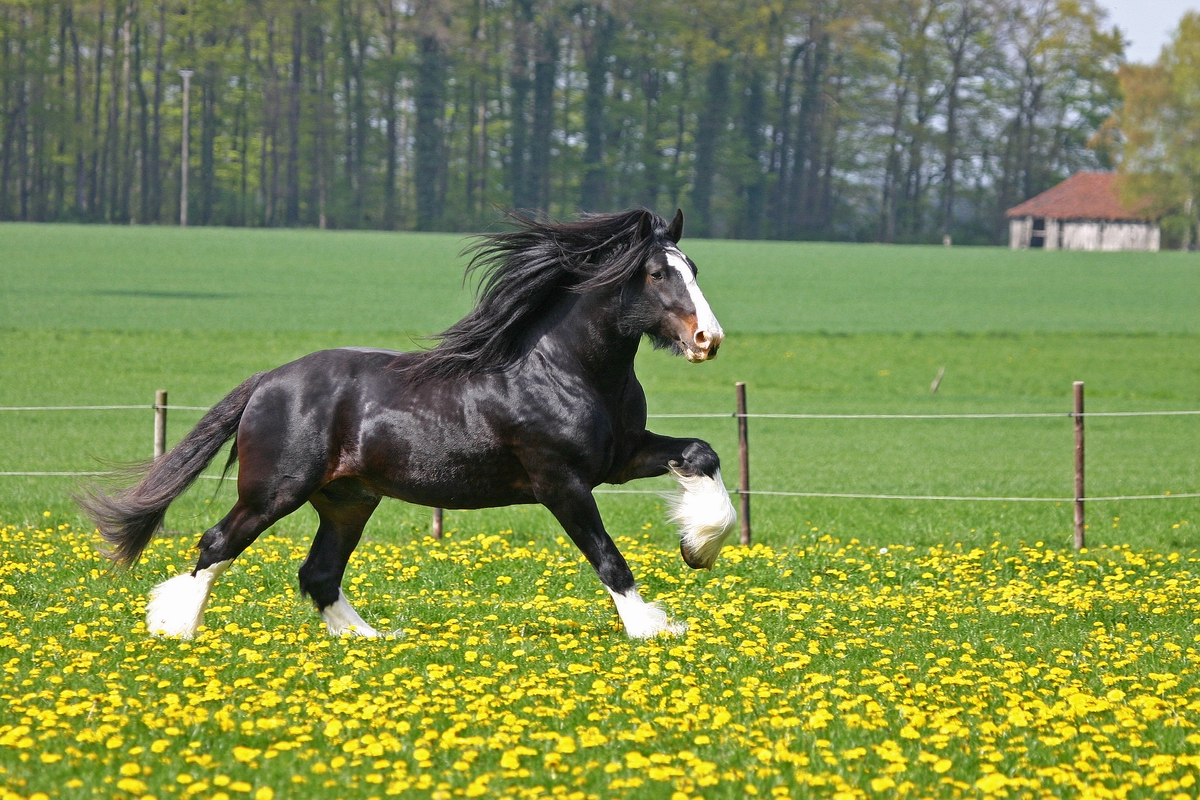beauty horse