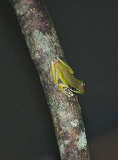 White-lipped Frog (Hylarana raniceps)