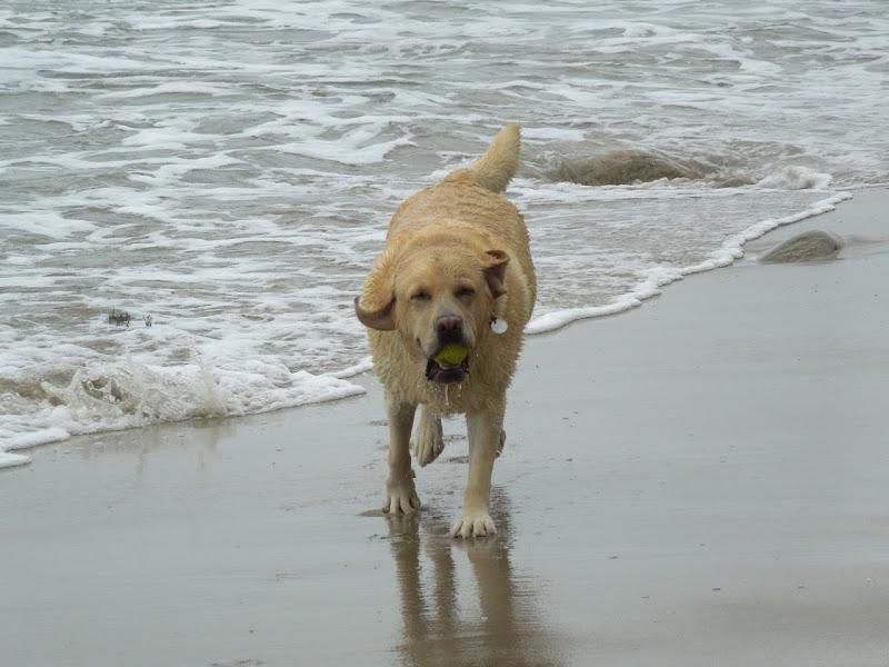 4 year Yellow Labrador