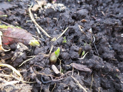 Hosta, хоста, весна, веcной, ростки, черенки, аленин сад, aleninsad