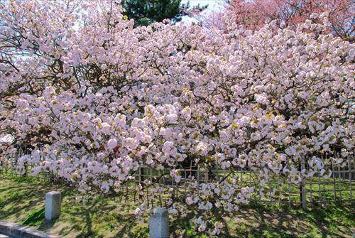 京都御所(きょうとごしょ)御車返しの桜
