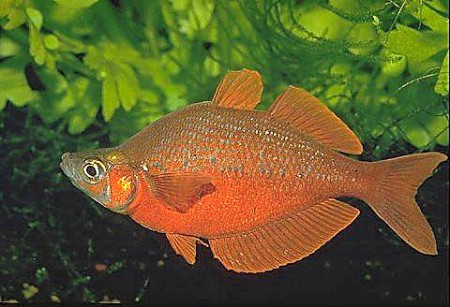 Rainbow for Types of red fish