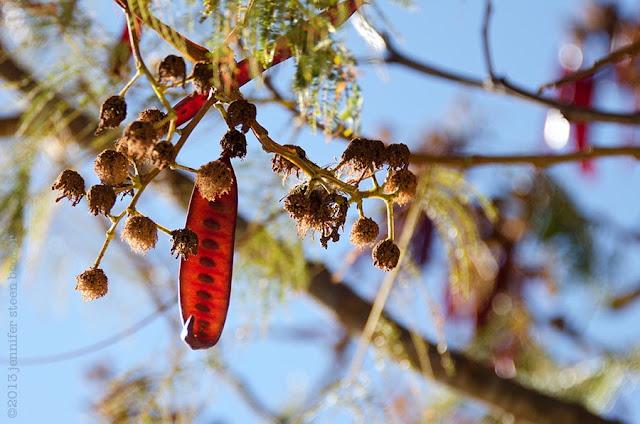 Leucaena leucocephala, Monte Albán, Oaxaca, Mexico