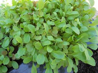 cultivo en maceta de berros de jardín