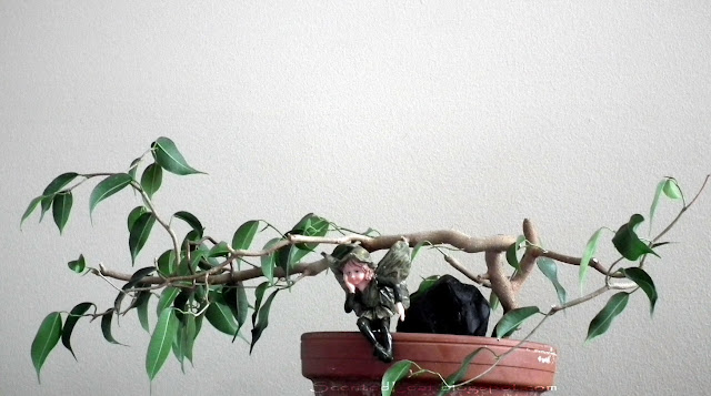 Ficus wiandi prebonsai, addition for terrarium / vivarium