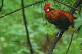 KUMPULAN FOTO ANEKA JENIS AYAM  Ciri dan Jenis Ayam Tips Cara Perawatan