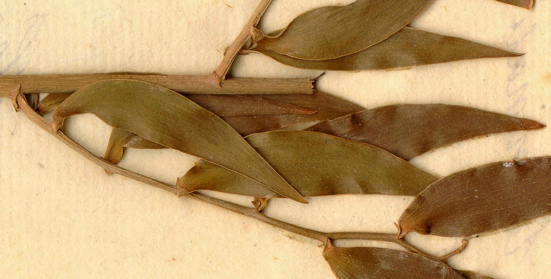 Graeco-Roman papyrus contains hangover remedy
